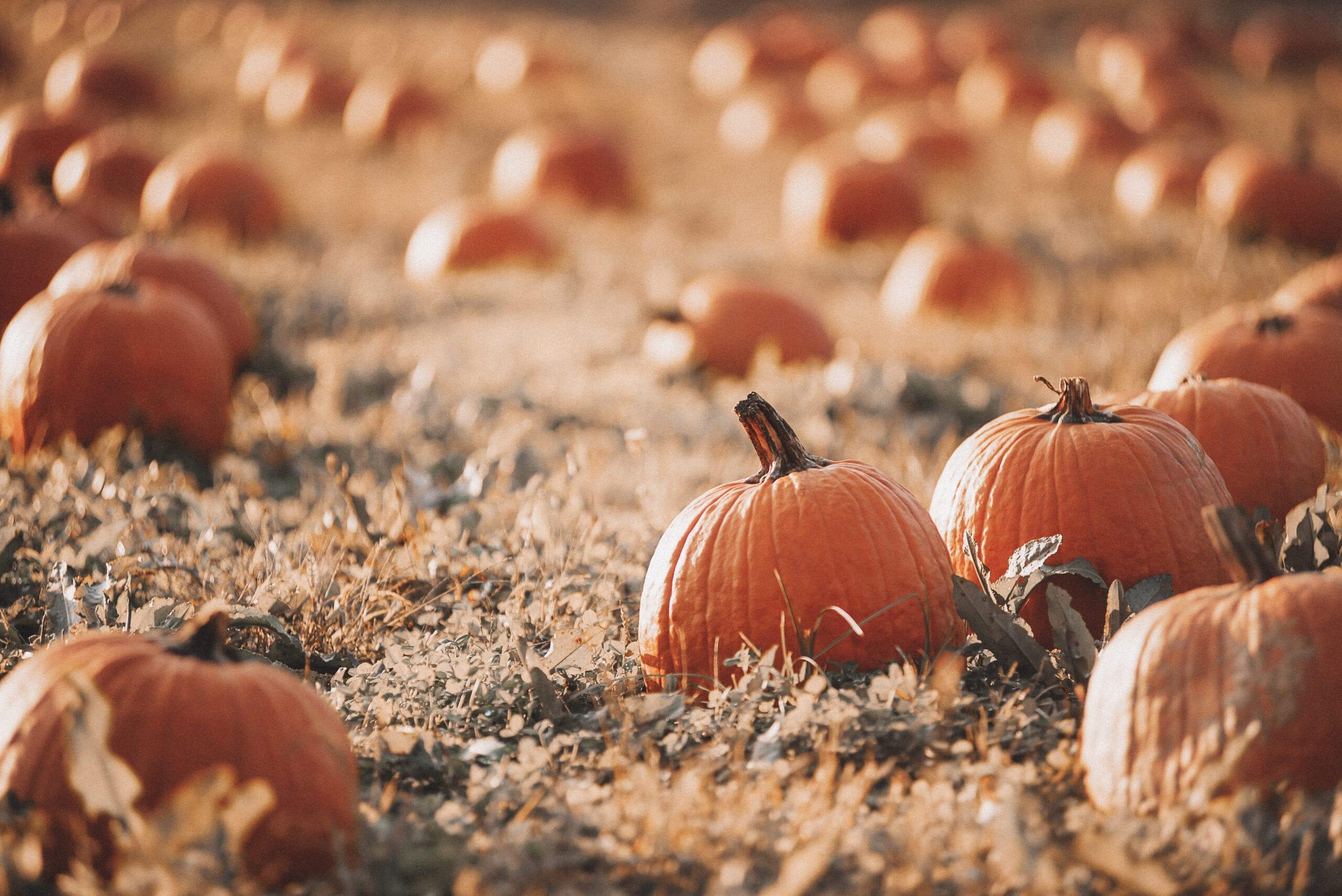 farm,A field of pumpkins growing.